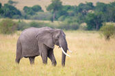 African elephant with broken tusk. — Stock Photo