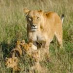 Постер, плакат: Lioness with 4 cubs