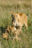 Lioness with 4 cubs — Stock Photo