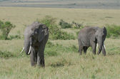 Two african elephants — Stock Photo