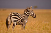 Portrait of a wild Zebra — Stock Photo