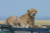 Female cheetah on roof — Stock Photo