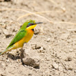 Stock Photo: Bee eater on ground