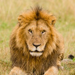 Male lion stare — Foto Stock