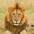 Male lion stare - Stock Photo