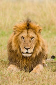 Male lion stare — Stock Photo
