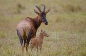 Topi med en ung kalv — Stockfoto