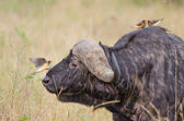 Buffalo and oxpecker — Stock Photo