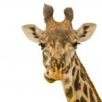 Постер, плакат: Giraffe Portrait
