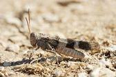 Oedipoda carulescens — Stock Photo