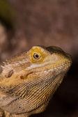 Bearded dragons — Stock Photo