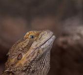 Close-up of Bearded dragons eye (Pogona vitticeps) — Stock Photo