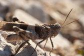 Brown locust close up — Stock Photo