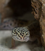 Smiling leopard gecko on desert — Stock Photo
