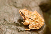 Close-up from a yellow frog — Stock Photo