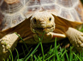 African Spurred Tortoise — Stock Photo