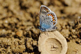 The Silver-studded Blue (Plebejus argus) butterfly — Stock Photo