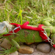 Green iguana on a leash — Stock Photo