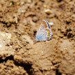 The Silver-studded Blue (Plebejus argus) butterfly — Stock Photo #28363975
