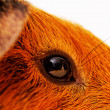 Guinea pig eye close-up (macro) — Stock Photo