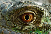 Green iguana eye — Stock Photo