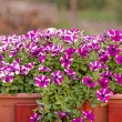 Purple white petunia — Stock Photo #33379735