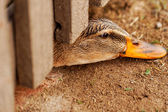 Domestic duck on a farm — Stok fotoğraf