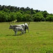 Stock Photo: Hungarigrey cattle