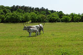 Hungarian grey cattle — Foto de Stock
