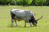 Hungarian grey cattle — Stock fotografie
