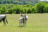 Hungarian grey cattle — Stockfoto