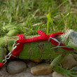 Stock Photo: Green iguanon leash