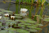 Water lily on the pond — Stock Photo