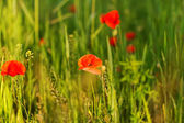 Poppy field — Photo