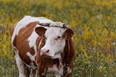 The cow — Stock Photo