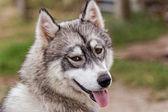 Husky dog — Стоковое фото