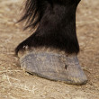 Horse leg and hoof — Stock Photo