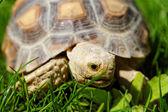 Afrikanische gespornter schildkröte — Stockfoto