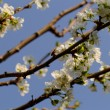 Blossom cherry tree with bee — Stock Photo #35363909