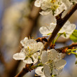 Stock Photo: Blossom cherry tree with bee