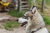 Chien husky — Photo
