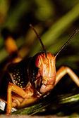 One locust eating — Stock Photo