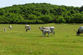 Hungarian grey cattle — Stock Photo