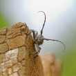 Stock Photo: Capricorn Beetle