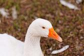 White Geese — Stock Photo