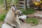 Husky dog — Stock Photo