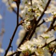 Blossom cherry tree with bee — Stock Photo #39687261