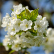 Stock Photo: Blossom cherry tree