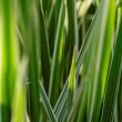 Stock Photo: Miscanthus sinensis
