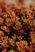 Red plant — Stock Photo